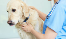The Dog Flu Symptoms You Need to Know